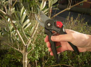 Pruning your olive