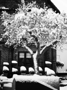 How hardy is an Olive tree? Very Hardy. Olive tree in snow