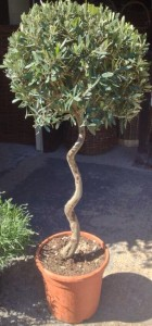 Where to grow your olive tree the norfolk olive tree company for Olive trees in pots winter care