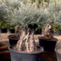 Arbequina ancient Olive tree for sale. Free delivery.