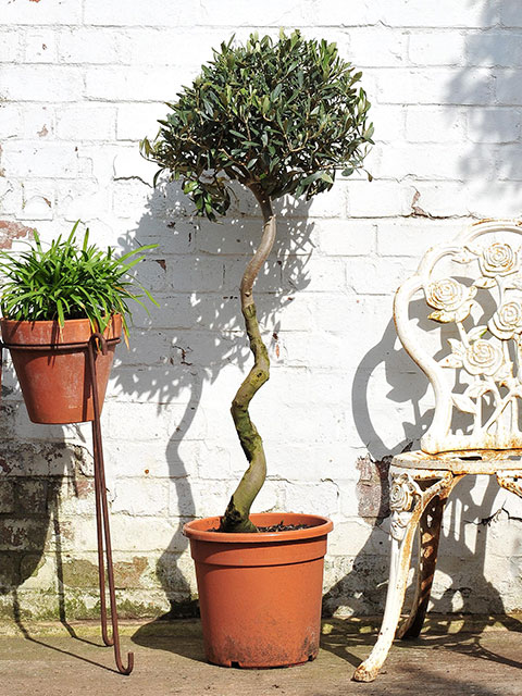Twisted stem olive tree measuring 120 cm approx from bottom of the pot to top of the Tree.