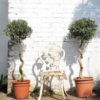 A pair of twisted stemmed olives trees for sale.