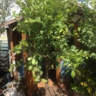 Container grown lemon trees.