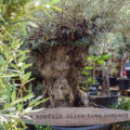 Gnarled ancient olive tree for sale. Impressive girth of 6ft diameter