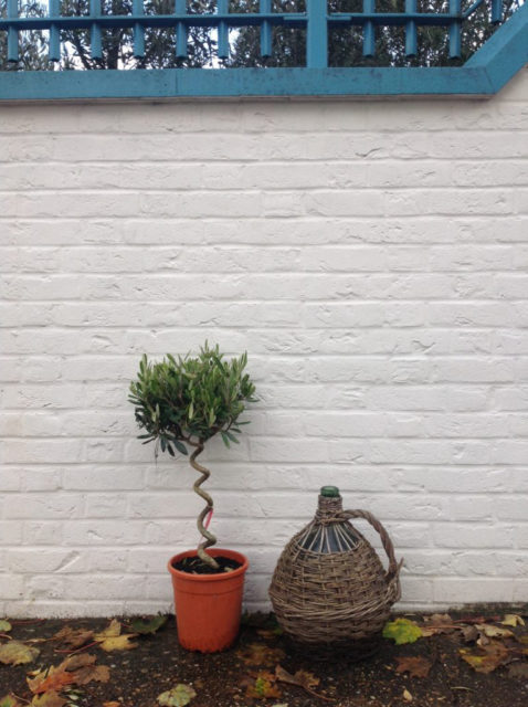 small twisted stem olive tree in a pot