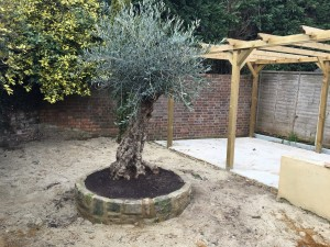 olive tree in a customer's garden