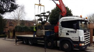 delivering cloud pruned olive tree