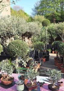 Norfolk Olive Tree Company show garden